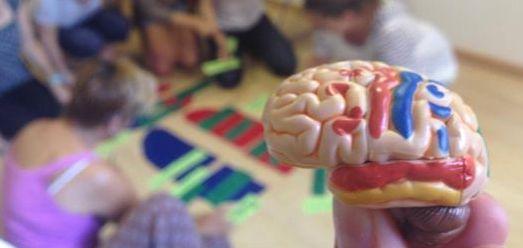 En esta fotografía se muestra un cerebro de plástico en primer plano con sus partes de diferentes colores